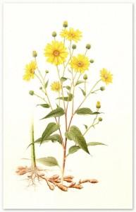 8 - Helianthus tuberosus_o