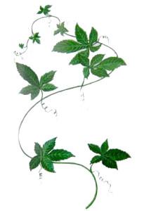 Gynostemma_pentaphylla300