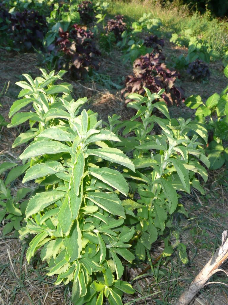 Un piccolo esempio di sinergia tra alcune piante Innovative, Stevia e Perilla circondate da semi di dicondra, erba cipollina e sopratutto tanta PAGLIA!!!
