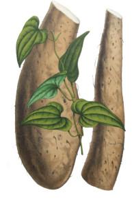 dioscorea batatas