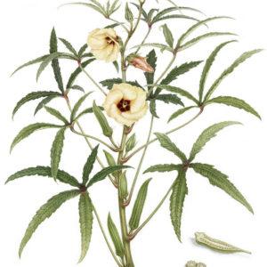 Hibiscus e fiori eduli