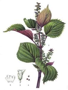 perilla botanica