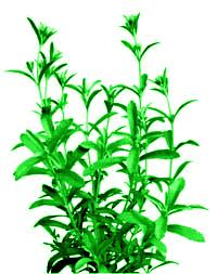 cespuglio di stevia