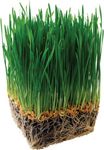 miniatura erba d'orzo