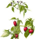 capsicum-pubescens