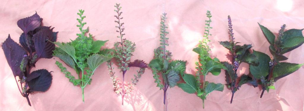 fiori-perilla