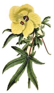 Abelmoschus manihot