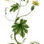 cucumis anguria disegno pianta