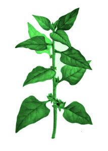 Tetragoniatetragonioides