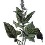 chenopodium bnus enricus