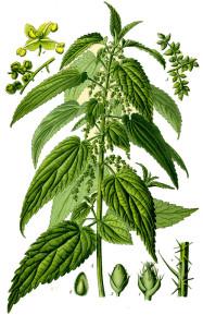 scheda botanica bella ortica