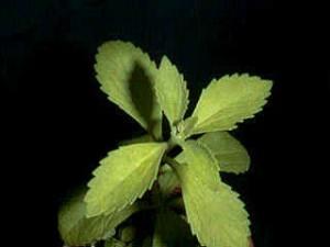 stevia su sfondo scuro