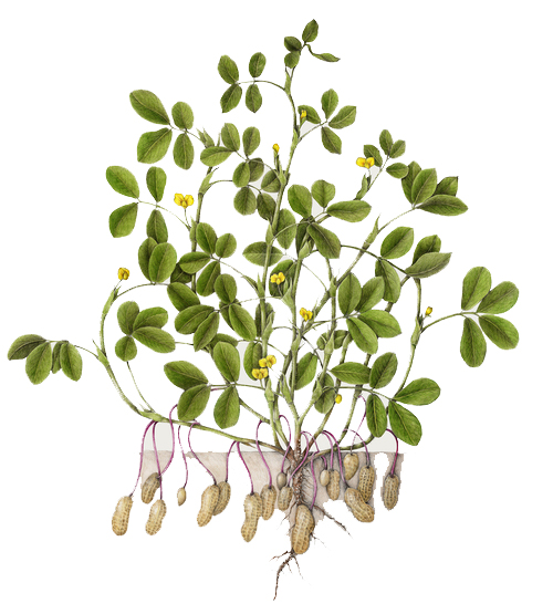 Peanut-Arachis+hypogaea